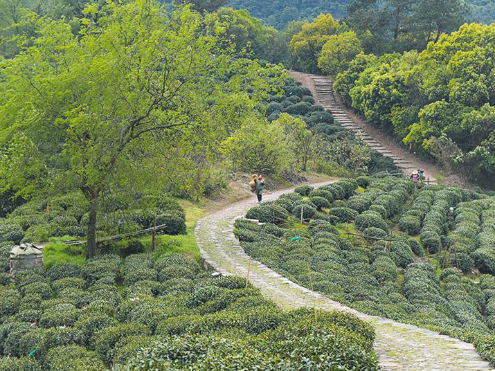 Jardins de thé en Chine lors de la première cueuillette de printemps